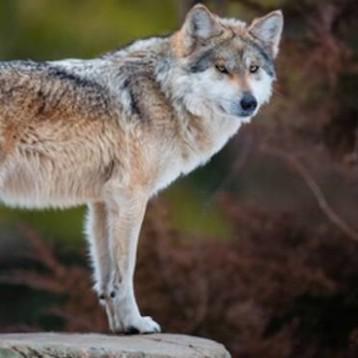 """Disabato (M5S): """"Non si spara al lupo. La Regione promuova progetti di prevenzione e velocizzi i risarcimenti"""""""